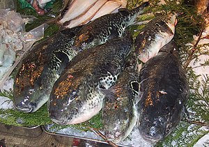 Fugu - Torafugu for sale to master fugu chefs at the Tsukiji fish market in Tokyo