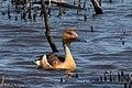 Fulvous Whistling-Duck Anahuac NWR High Island TX 2018-04-17 10-55-09 (40140928180).jpg