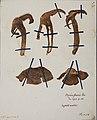 Fungi agaricus seriesI083.jpg