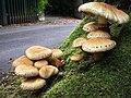 Fungi near Lisnamallard House (1) - geograph.org.uk - 562135.jpg