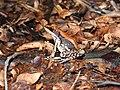 Fungoid Frog Hydrophylax malabaricus by Dr. Raju Kasambe best DSCN1028 (5).jpg