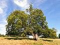 GOC Bengeo to Woodhall Park 137 Hornbeam? (8108079045).jpg