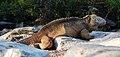 Galápagos land iguana (4201811229).jpg