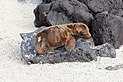 Galápagos sea lion, Santa Fe Island 02.jpg