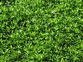 Galium odoratum Przytulia wonna 2009-05-24 01.jpg