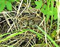 Gallinago megala nest.jpg