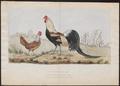 Gallus sonneratii - 1700-1880 - Print - Iconographia Zoologica - Special Collections University of Amsterdam - UBA01 IZ17000075.tif