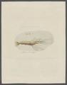 Gammarus armiger - - Print - Iconographia Zoologica - Special Collections University of Amsterdam - UBAINV0274 098 02 0002.tif