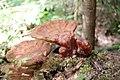 Ganoderma lucidum 8689965.jpg