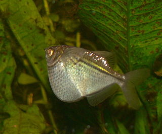 Common hatchetfish species of fish
