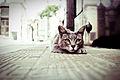 Gato gris, Felis silvestris catus.jpg