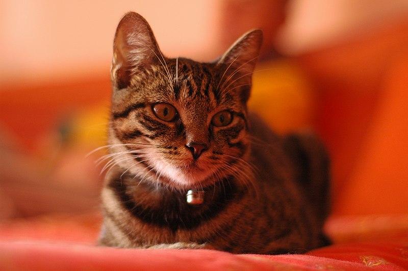 File:Gatto soriano.JPG