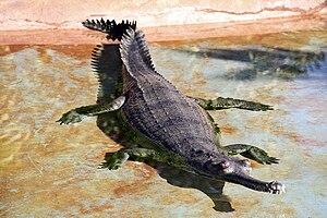 Gharial - Image: Gavialis gangeticus