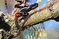 Gehoornde metselbij - European orchard bee - Osmia cornuta (33871916758).jpg