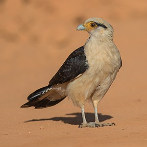 Yellow-headed caracara - Adult at Serra da Canastra National Park, Brazil