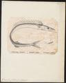 Gempylus coluber - - Print - Iconographia Zoologica - Special Collections University of Amsterdam - UBA01 IZ13400177.tif