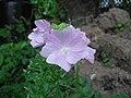 Geranium Sanguineum (8438236282).jpg
