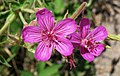 Geranium viscosissimum (sticky purple geranium) (Gibbon Falls overlook, Yellowstone, Wyoming, USA) (20798771385).jpg