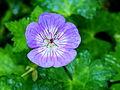 Geranium wallichianum 'Buxton's Variety'. Locatie Tuinreservaat Jonkervallei.JPG