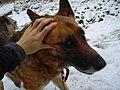 German Shepherd (aka Alsatian and Alsatian Wolf Dog), Deutscher Schäferhund (Folder (IV) 06.JPG