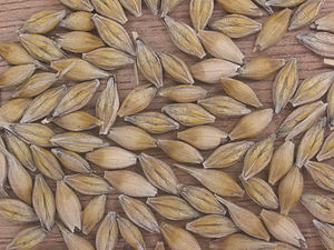 Muisca agriculture - After the conquest of the Muisca lands, barley was introduced quickly and grew well on the fertile highlands