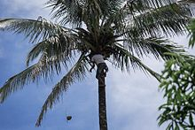 Getting the coconut the Timorese way.jpg