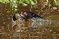Giant Otter (Pteronura brasiliensis) with an Oscar (Astronotus ocellatus) - Flickr - berniedup.jpg