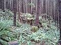 Giant Stumps - panoramio (1).jpg