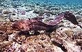 Gigantische Muräne im Roten Meer..DSCF3643WI.jpg