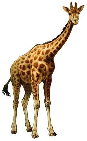 Giraffe - 70 px