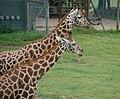 Giraffe (2632009358).jpg