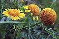 Glebionis segetum inflorescence (34).jpg
