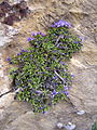 Globularia repens (16174359054).jpg