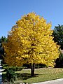 Golden Linden (2857267644).jpg