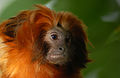 Golden Lion Tamarin (5382198958).jpg