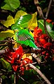 Golden fronted leafbird by Nihal jabin.jpg
