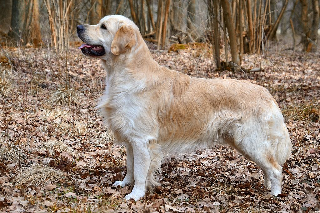 History of the Golden Retriever breed