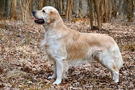 Golden retriever Fauve clair (f-cl).