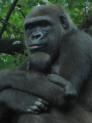 English: Western Lowland Gorilla (Gorilla gori...