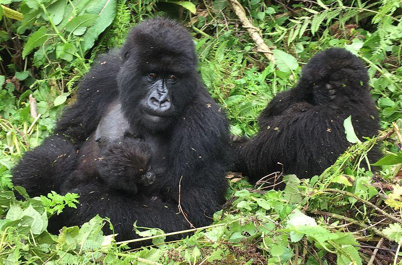 afrikanza-volcanoes-gorilla-monkey