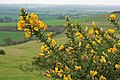 Gorse flowering on Pentridge Hill 2 - geograph.org.uk - 342320.jpg