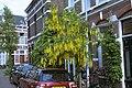 Gouden Regen Haarlem.jpg