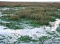 Grand fort philippe vasière algues.jpg