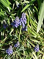 Grape hyacinth in sun.JPG