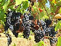 Grapes - panoramio (2).jpg