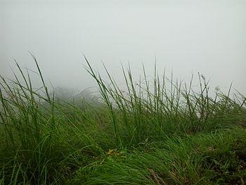 Grass sample in Kundadri hill.jpg