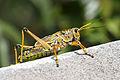 Grasshopper 2.JPG