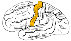 Gray726 precentral gyrus.png