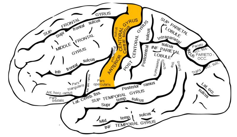 ILLUSTRATION : Gyrus précentral (Source : Wikimedia)