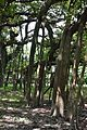 Great Banyan Tree - Indian Botanic Garden - Howrah 2012-09-20 0058.JPG
